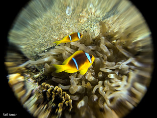 two-banded anemonefish - Amphiprion bicinctus