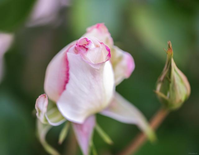 pink and white rosebud