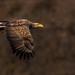 White-tailed Eagle - (Haliaeetus albicilla)