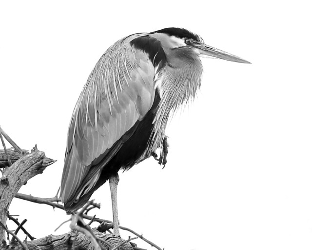 A Black And White Heron Was Once A Great Blue