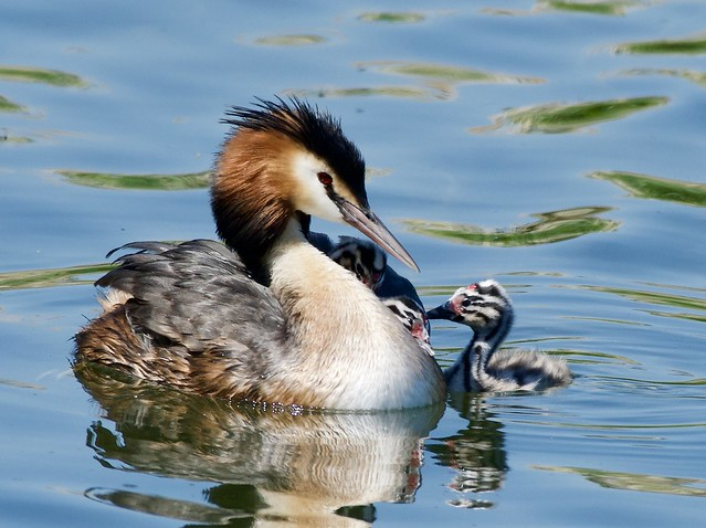 Great Crested Grebes family.      Podiceps Cristatus