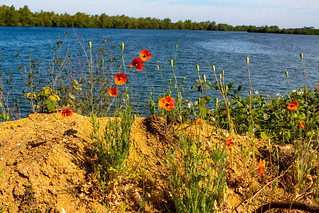 Poppies by the Lake