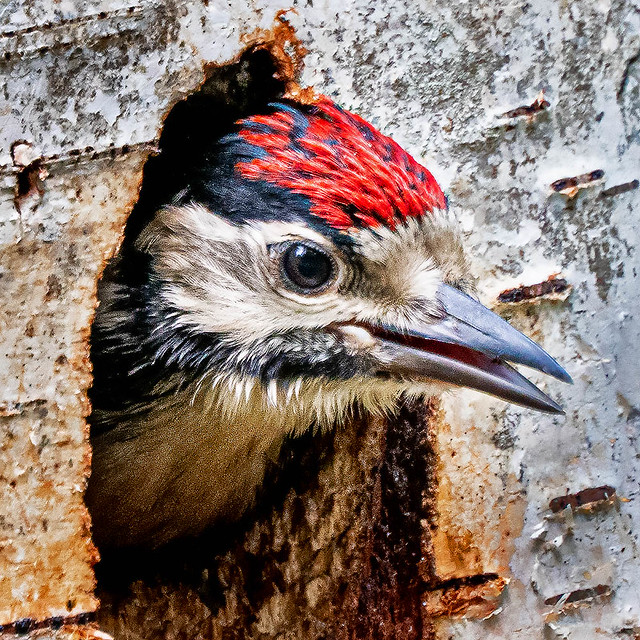 Great spotted woodpecker - chick - 2