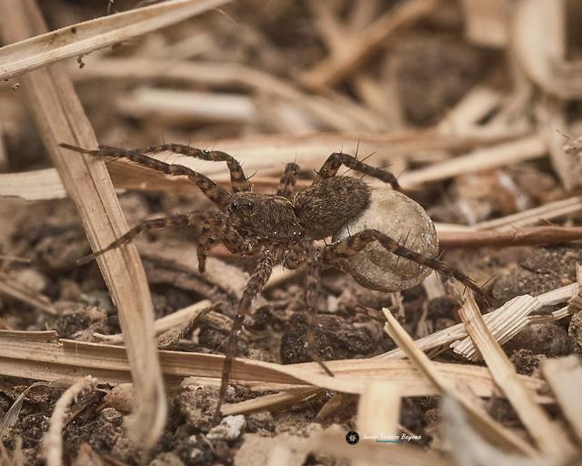 Araña Lobo Hembra (Lycosa tarántula)