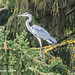 Grey Heron, Valbirse-Malleray, Canton of Bern, Switzerland
