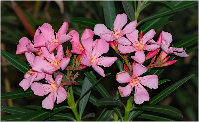 Pink Oleandar - George Brown Darwin Botanic Gardens - Darwin, NT, Australia