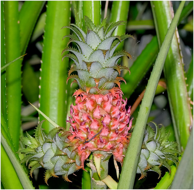 Immature Pineapple - George Brown Darwin Botanic Gardens - Darwin, NT, Australia