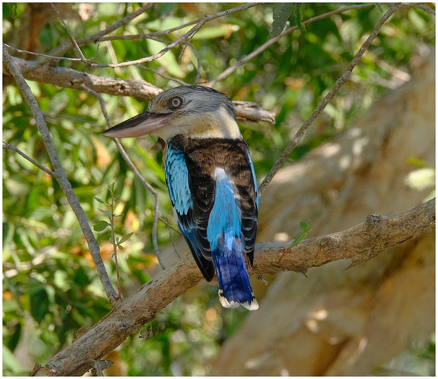 Blue-Winged Kookaburra (male - blue tail) - Fogg Dam Conservation Reserve, Middle Point, Northern Territory, Australia