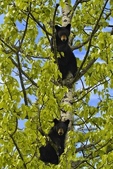 ~Treed Cubs in Bear Country~