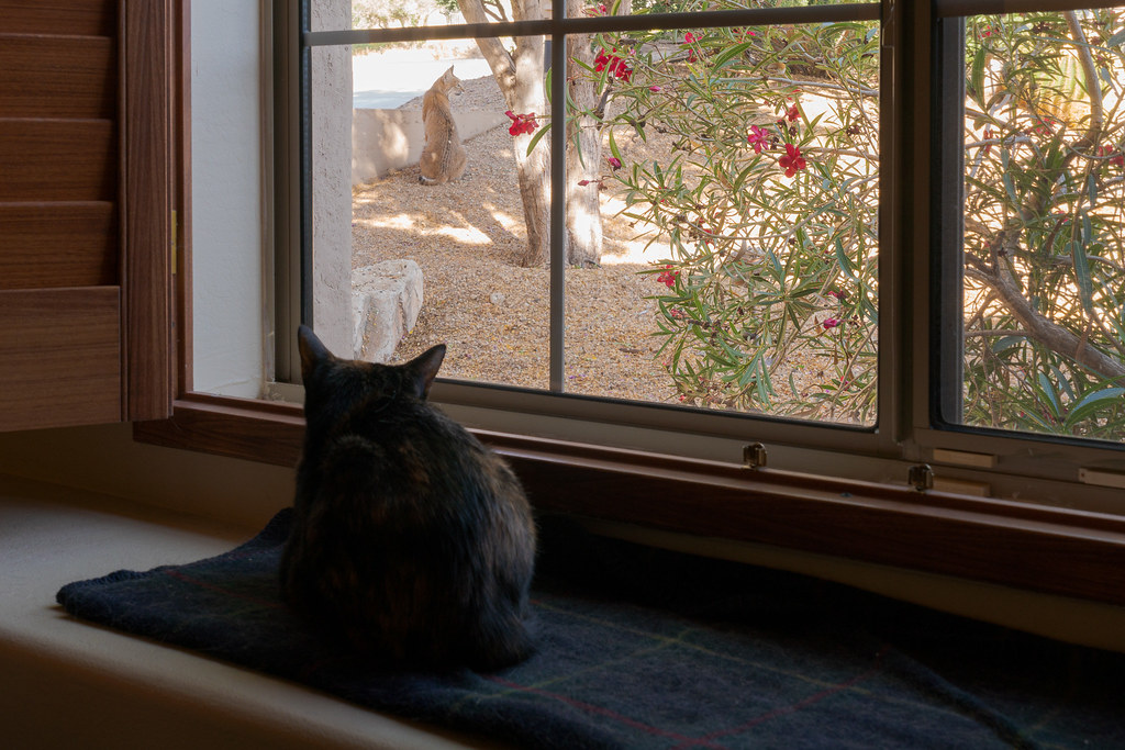 Through my office window our cat Trixie watches a bobcat at the edge of our yard in Scottsdale, Arizona in May 2020