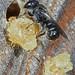 Gewöhnliche Löcherbiene