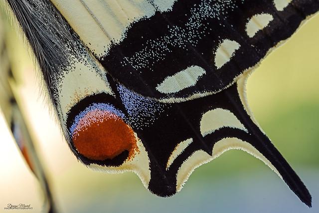 Papilio machaon scales recto