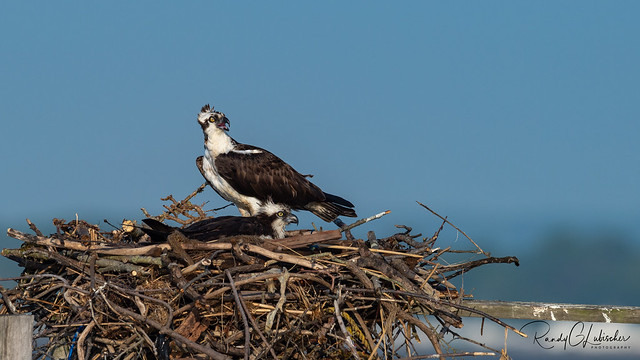Osprey of the Jersey Shore | 2020 - 19