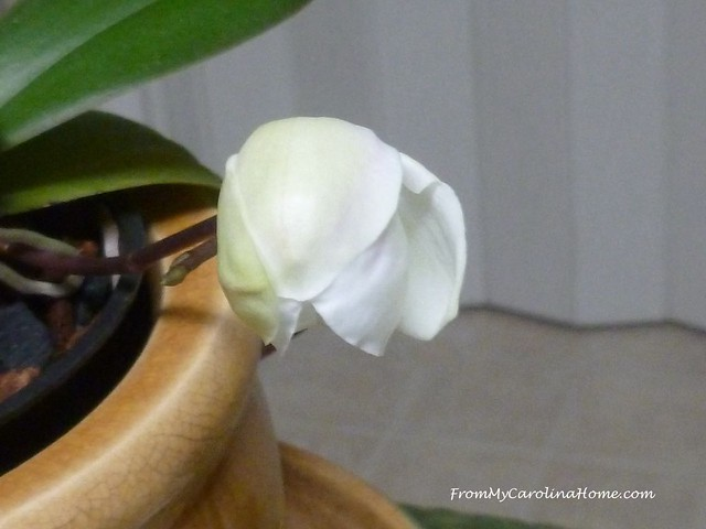 Orchid at FromMyCarolinaHome.com