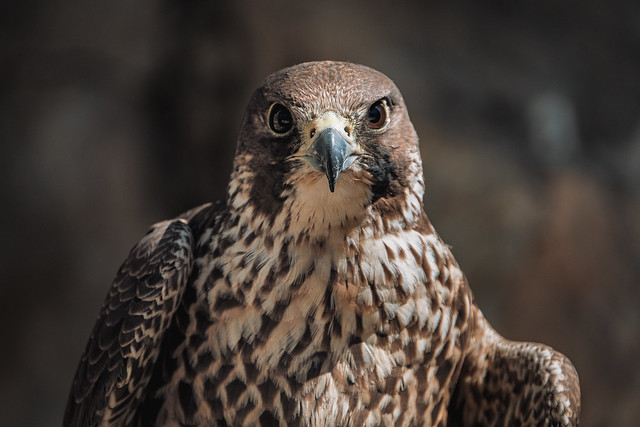 The kestrel's gaze