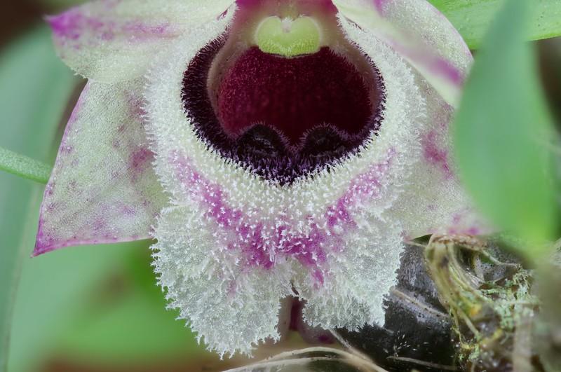 Dendrobium hekouense - Seite 2 49967352066_6aab3cb9d0_c