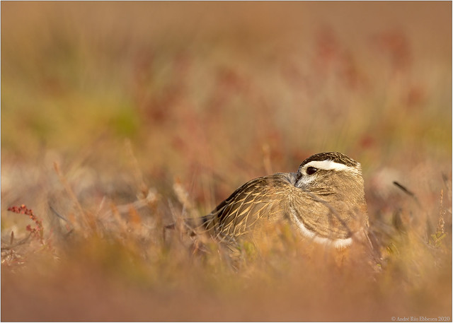 Eurasian Dotterel in soft evening light