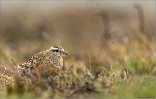 Eurasian Dotterel in rain