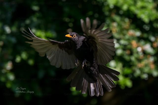Beautiful Blackbird.