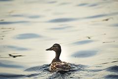 Pretty duckling