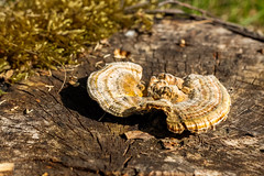 Polypore on a stump