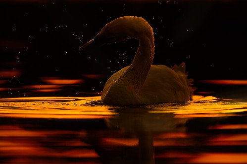 sunset swan lake water norfolk broads whitlingham jonathan casey wildlife bird photography nikon d850 400mm f28 vr