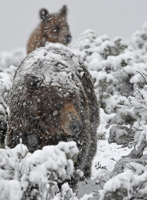 A beautiful spring snowstorm falls on a grizzly sow and her cub - 7806b+