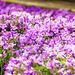 Temps de Flors