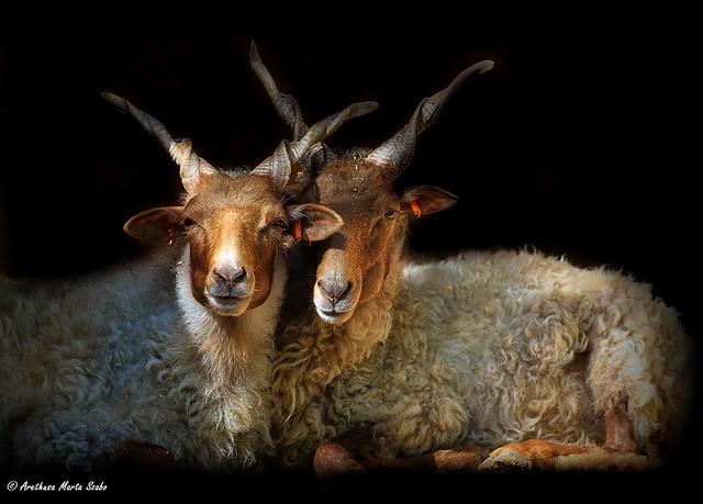 Hortobágyi Racka Sheeps in love :) -  Racka juhok (Ovis aries strepsiceros hungaricus), Ουγγρικά πρόβατα «Racka»
