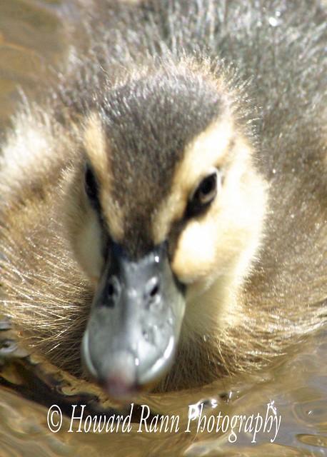 Benton Ducks (65)