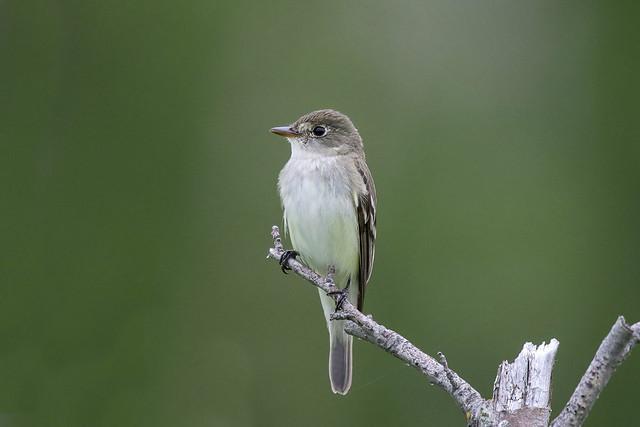 Alders Flycatcher