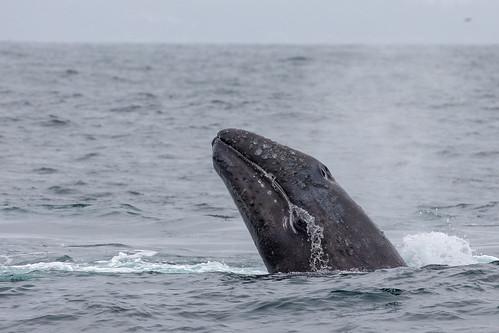 Baby California Gray Whale