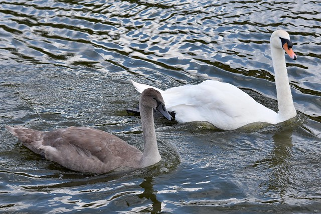 Swan and Cygnet, Tiverton, August 2019