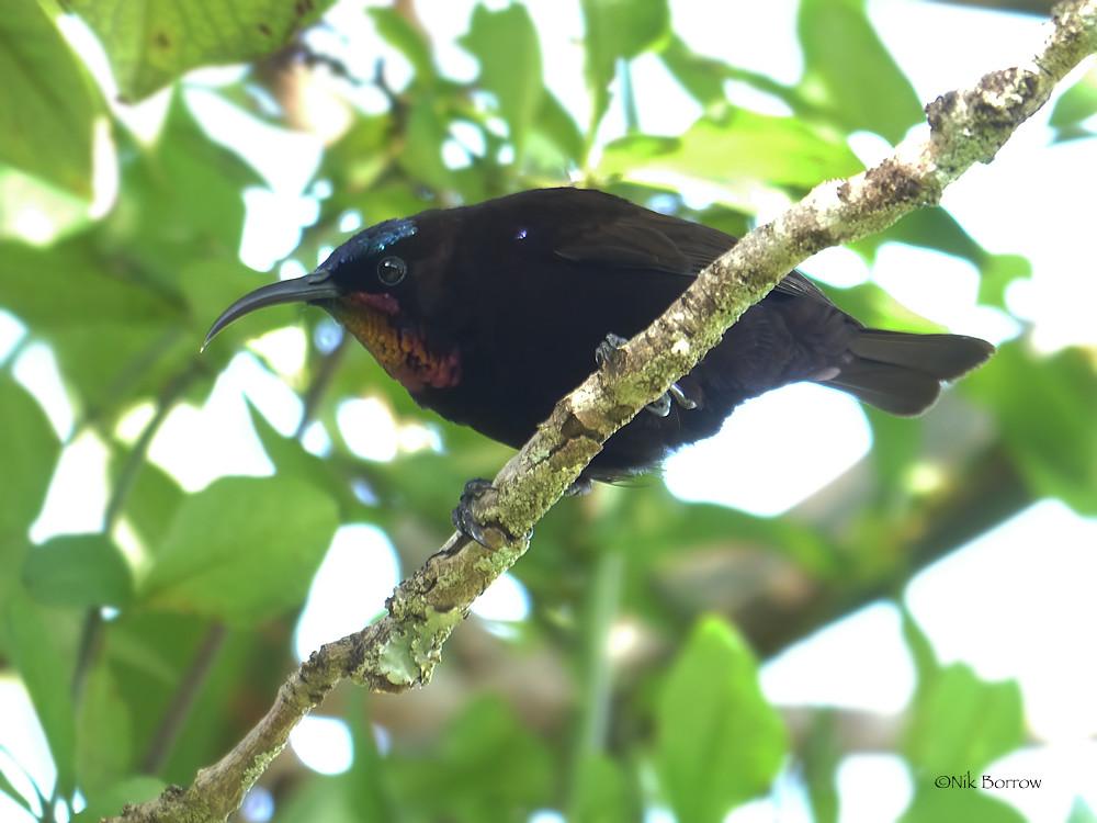 Amethyst Sunbird Chalcomitra amethystina kirkii