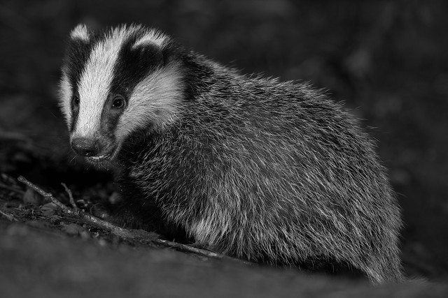 Badger cub in Black and White