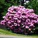 rhododendon20