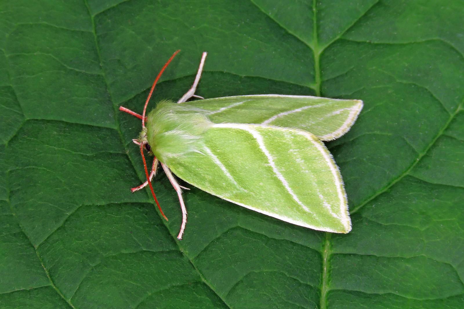 74.008 Green Silver-lines - Pseudoips prasinana