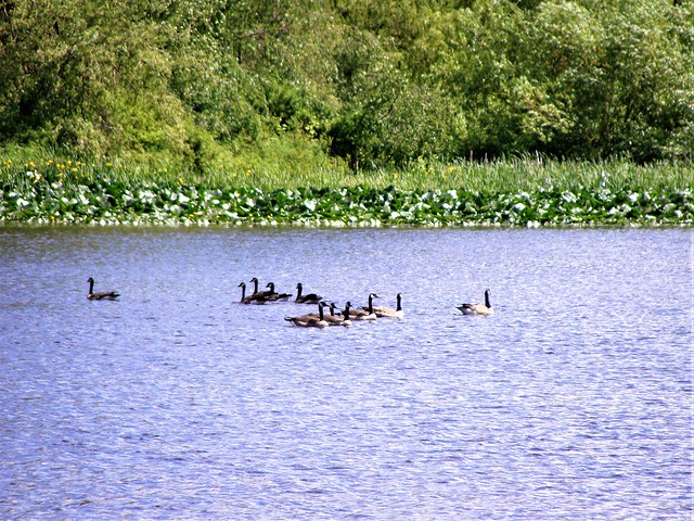 Swimming with the Geese