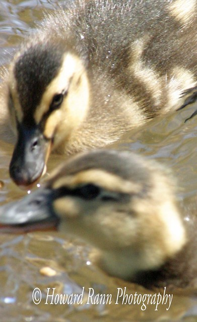 Benton Ducks (68)