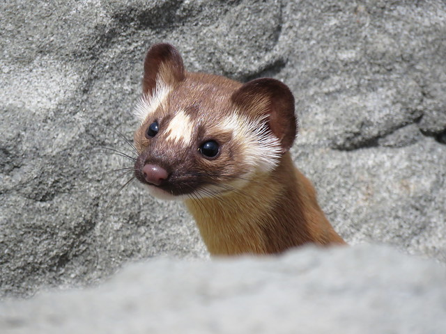 California Long-tailed Weasel