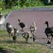 Goslings, Canada goose, growing fast