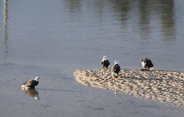 FIVE MATURE BALD HEADED EAGLES.   MISSION AREA,  BC.