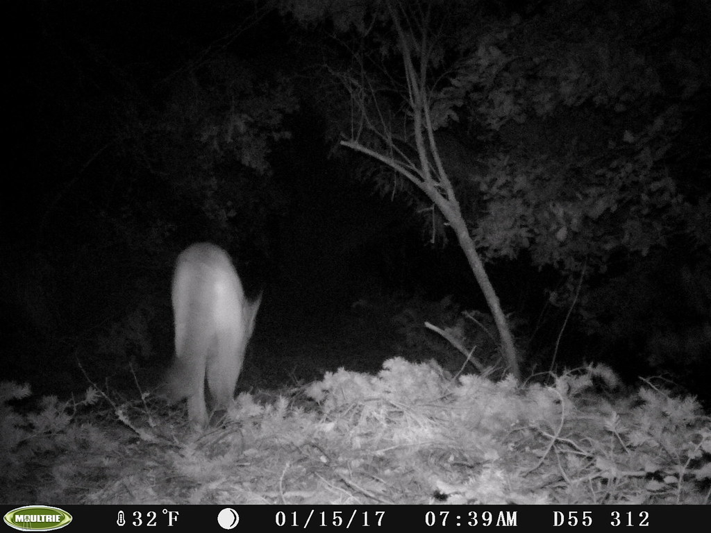 2017-01-15; 1st of 2 Mountain Lions