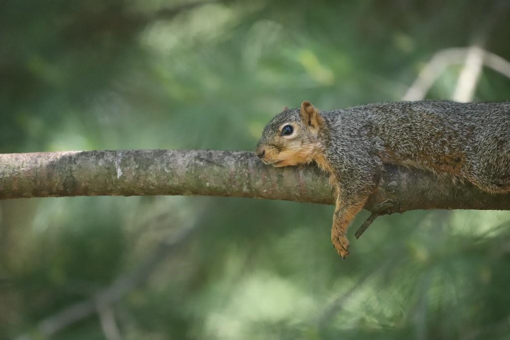 Backyard Red & Fox Squirrels (Ypsilanti, Michigan) - 154/2020 357/P365Year12 4374/P365all-time (June 2, 2020)