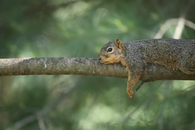 Backyard Red & Fox Squirrels (Ypsilanti, Michigan) - 154/2020 357/P365Year12 4374/P365all-time (June 2, 2020)