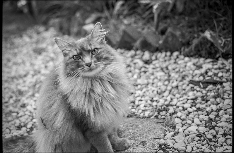 Kinobe, Maine Coon cat, Asheville, NC, Minolta XG M, Super Albinon lens, Kodak TMAX 400, Moersch Eco film developer, 5.31.20