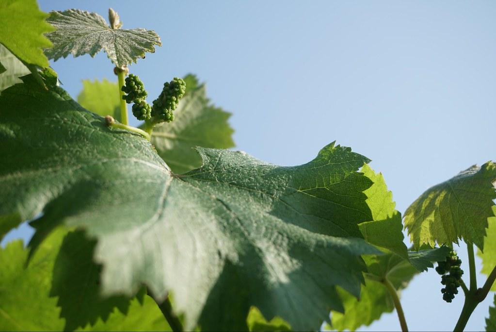 大村鄉為著名的鮮食葡萄產地。採訪時值二月,葡萄剛開完花結出的小果是農家一年收入的來源與希望。(攝影:王章逸)