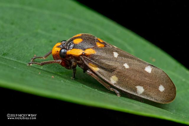 Froghopper (Phymatostetha stellata) - DSC_8284
