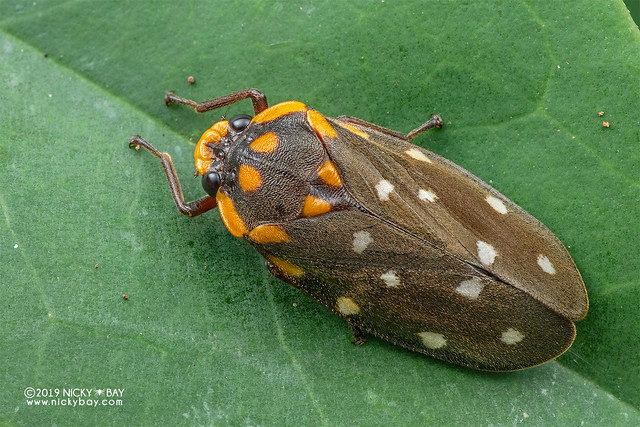 Froghopper (Phymatostetha stellata) - DSC_8278