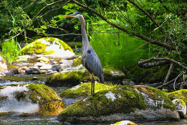 Great Blue Heron - Alouette River